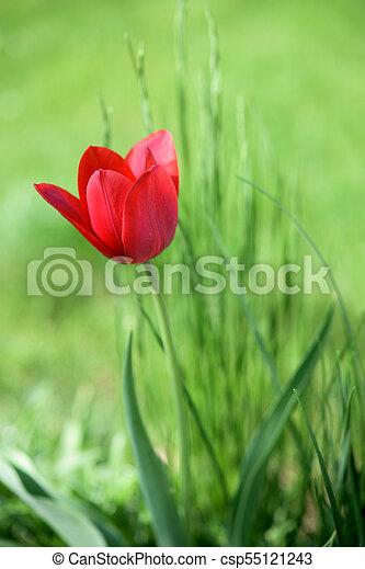 Red tulip in a garden - csp55121243