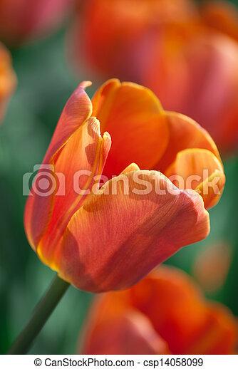 red tulip in a garden - csp14058099
