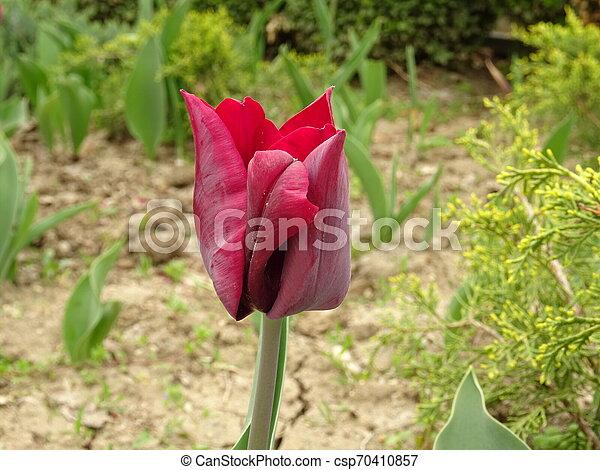 Red Tulip in a Green Garden - csp70410857