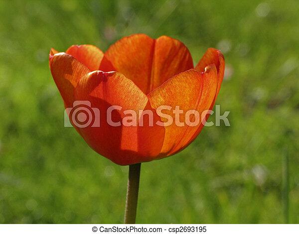 Red tulip in spring (back light) - csp2693195