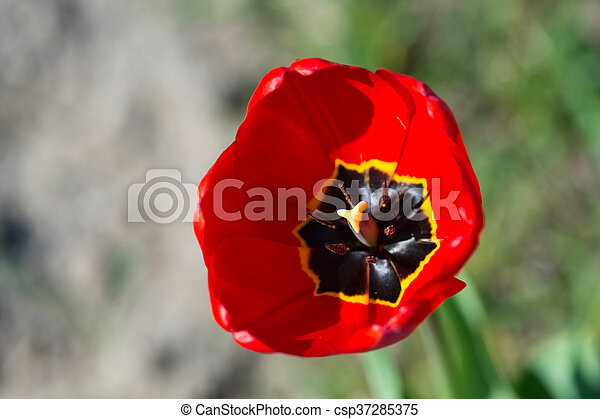 Red tulip in the garden on a sunny day - csp37285375