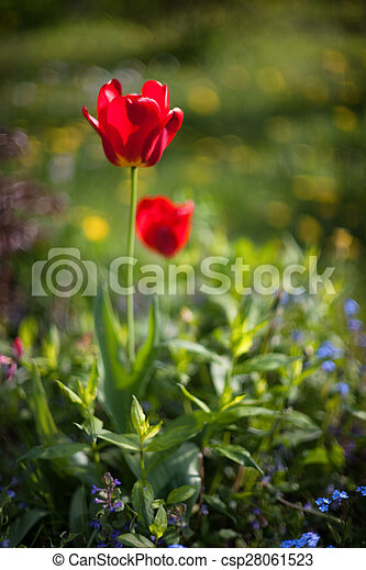 Red tulip in the garden on a sunny day. Blurry - csp28061523