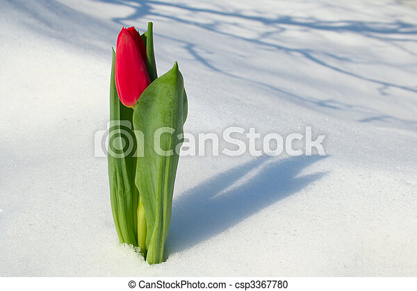 Red tulip on snow - csp3367780