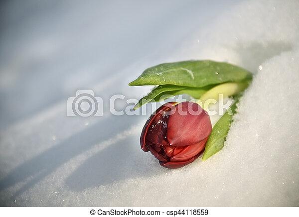 Red Tulip on the snow - csp44118559