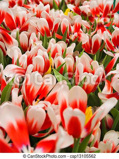 Red tulip - csp13105562