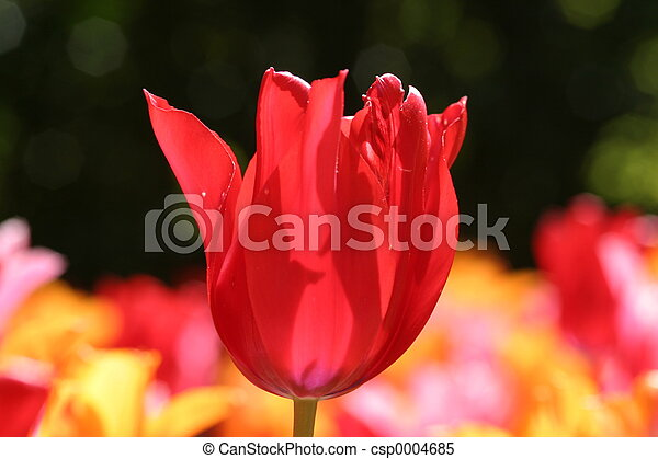 red tulip - csp0004685