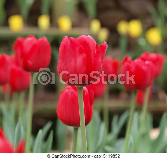 Red tulip - csp15119852