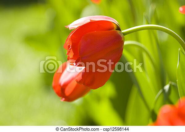 Red tulip - csp12598144