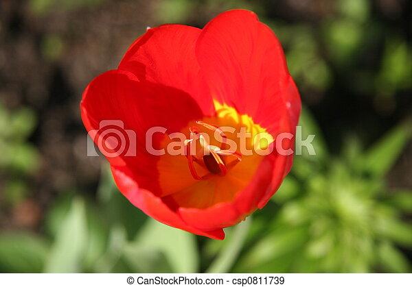 Red tulip - csp0811739