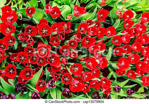 red tulip - csp13079904