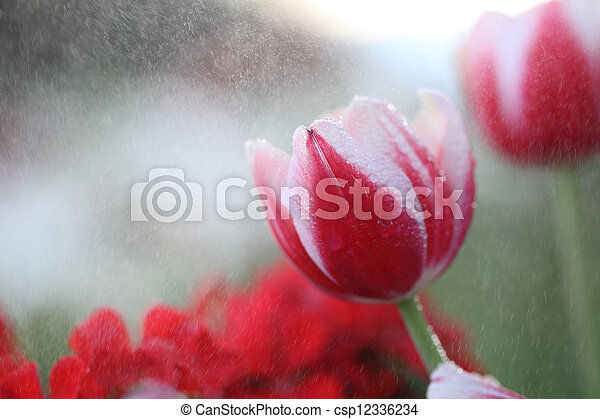 red Tulip - csp12336234