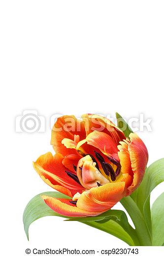 red tulip - csp9230743