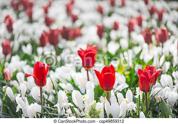 Red tulips among white flowers in a garden - csp49859312