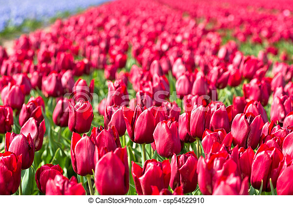 Red tulips field in the Netherlands - csp54522910