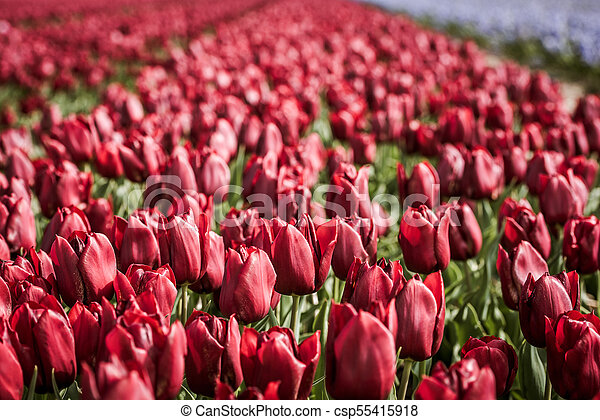 Red tulips field in the Netherlands - csp55415918