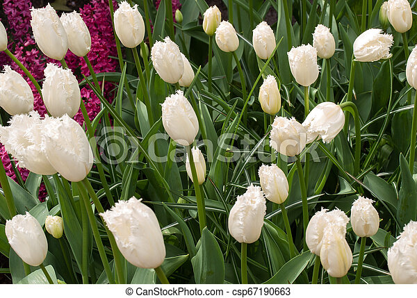 red tulips flowers blooming in a garden - csp67190663