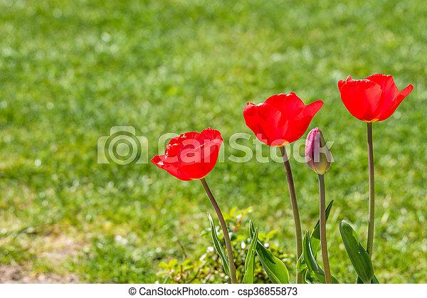 Red tulips in a garden - csp36855873