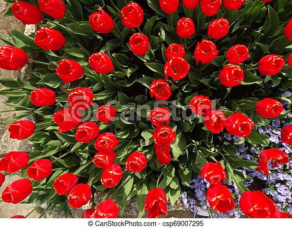 Red Tulips in a Garden - csp69007295