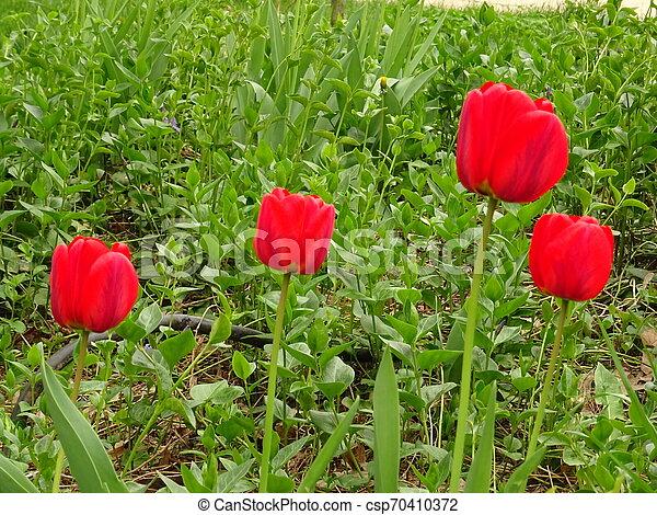 Red Tulips in a Green Garden - csp70410372