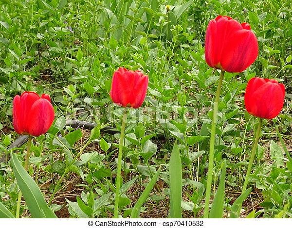 Red Tulips in a Green Garden - csp70410532