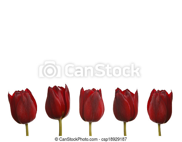 Red tulips in a row - csp18929187