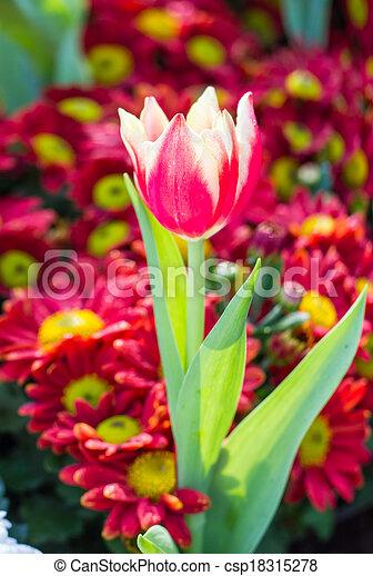 red tulips in the garden - csp18315278