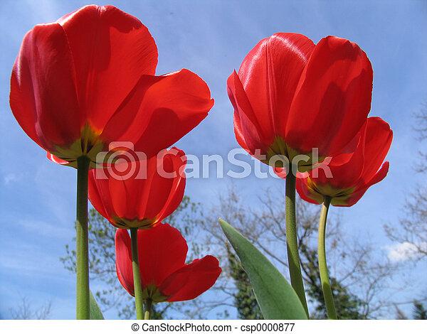 Red tulips - csp0000877