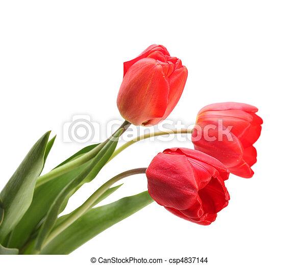 red tulips - csp4837144