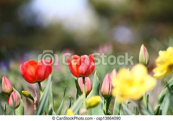 Red Tulips - csp13864090