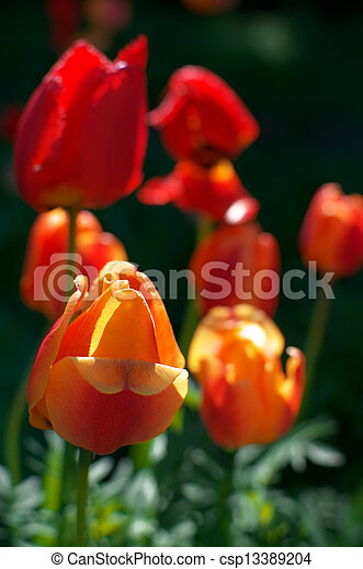 Red tulips - csp13389204