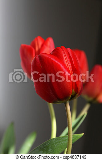 red tulips - csp4837143