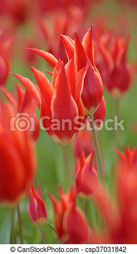 Red tulips. tulips in spring season - csp37031842