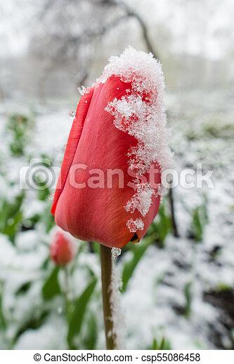 red tulips under spring snow, closeup - csp55086458