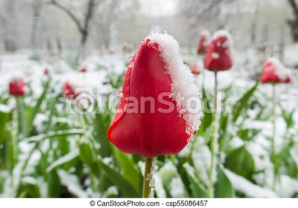 red tulips under spring snow on the garden - csp55086457