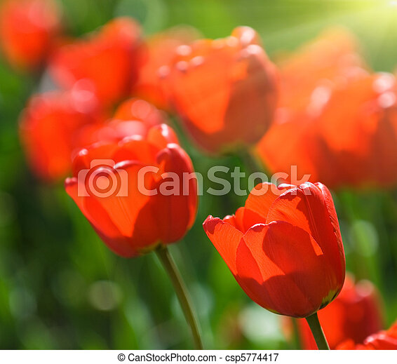 red tulips, very shallow focus - csp5774417