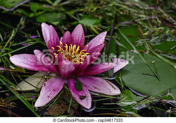 Red water lily. Flower. - csp34617333