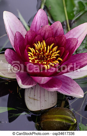 Red water lily. Flower. - csp34617336