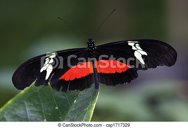 Red White Longwing Butterfly Close Up - csp1717329