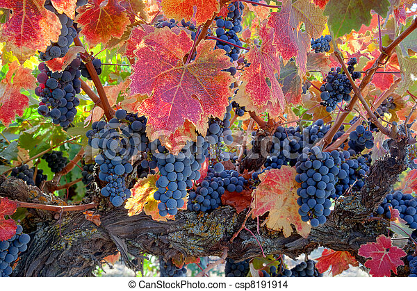 Red Wine Grapes on Vine - csp8191914