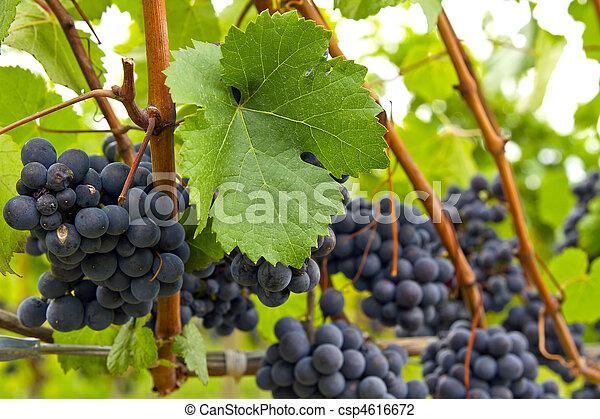 Red Wine Vineyard 3 - csp4616672