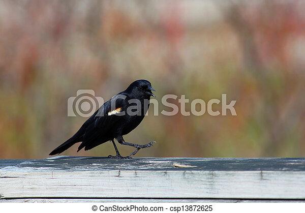 Red winged black bird - csp13872625