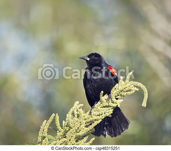 Red-Winged Blackbird on a plant - csp48315251