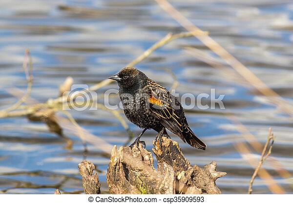 Red-winged Blackbird on a tree - csp35909593
