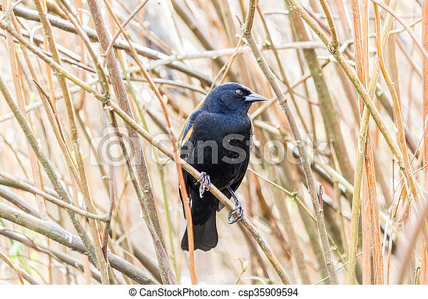 Red-winged Blackbird on a tree - csp35909594