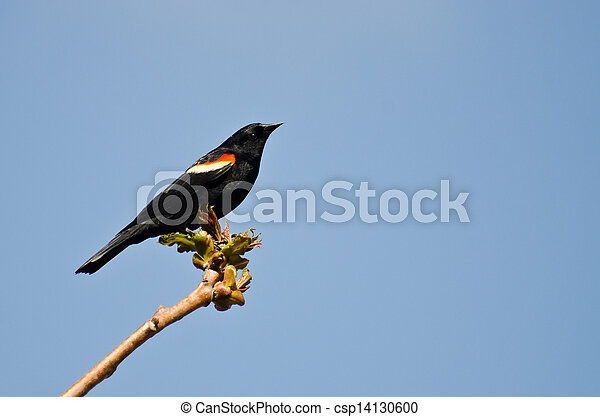 Red-Winged Blackbird Perched in a Tree - csp14130600
