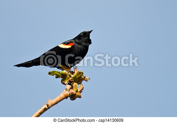 Red-Winged Blackbird Perched in a Tree - csp14130609