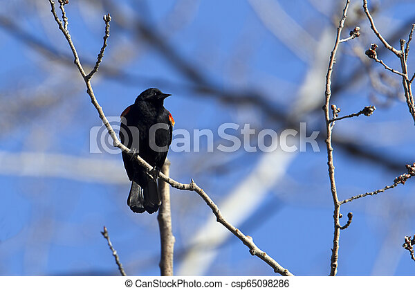 Red winged blackbird perched in tree. - csp65098286
