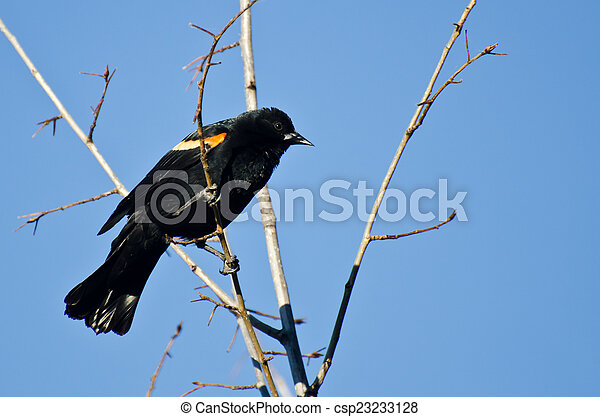 Red-Winged Blackbird Perched in Tree - csp23233128