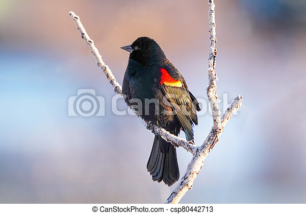 Red-winged blackbird sitting in a tree - csp80442713
