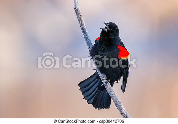 Red-winged blackbird sitting in a tree - csp80442706